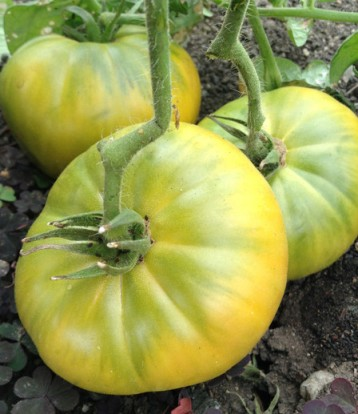 see available varieties heirloom tomato plants entire